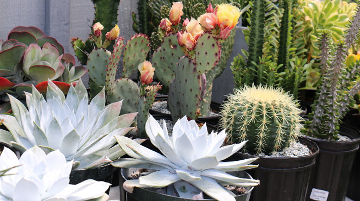 flowering cactii at carlmont village shopping center